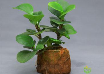 小盆栽绿植功效及日常养护